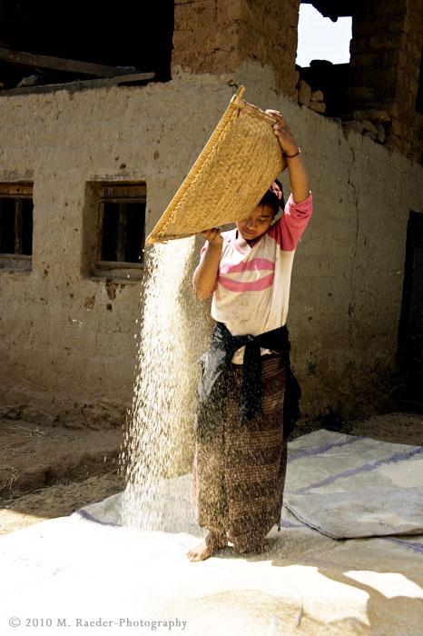 Rice harvest, Rinchengang Village