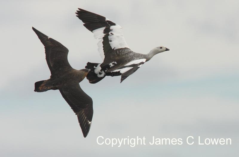 Chilean Skua chasing Upland Goose