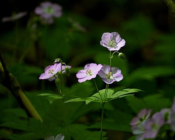 1799 wild geranium in filtered light web.jpg