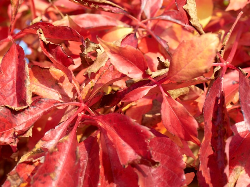 2010-10-06 Red leafs