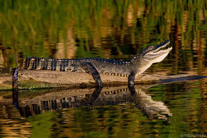 Baby Alligator at Wakodahatchee Wetlands