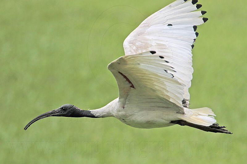 _MG_8324 Australian White Ibis.jpg