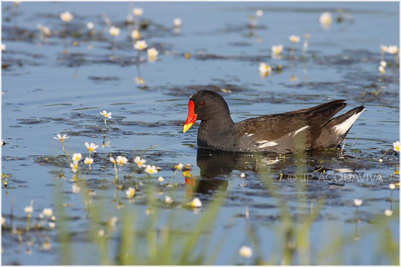 poule deau - common moorhen 7.JPG