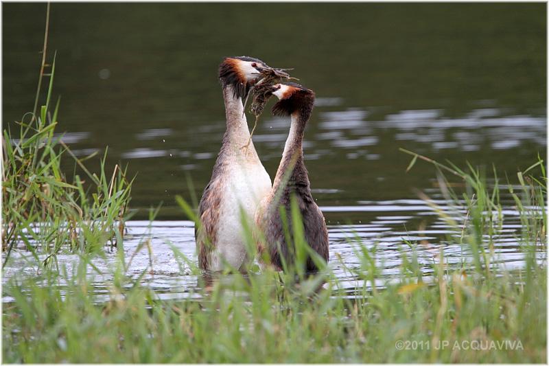 grebe huppé en parade nuptiale - great crested grebe.JPG