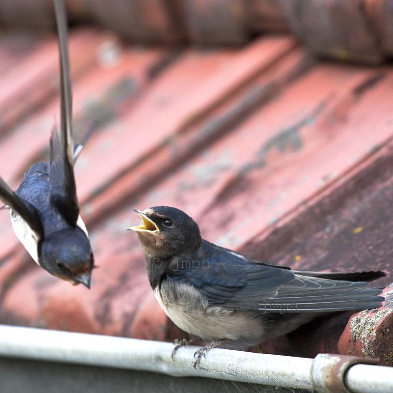 Hirundo rustica - Hirondelle rustique - Barn Swallow