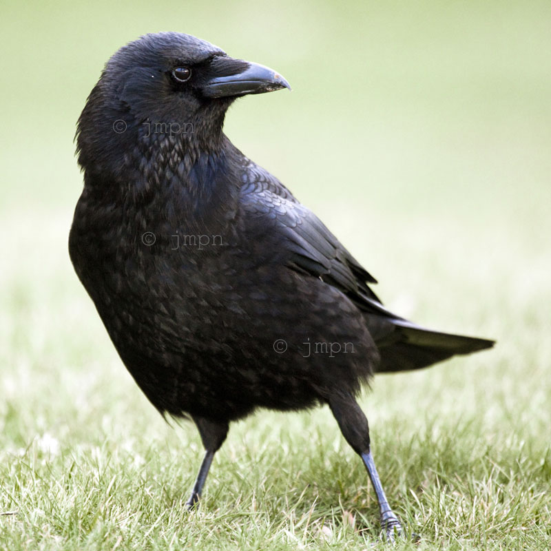 Corvus corone - Corneille noire - Carrion Crow