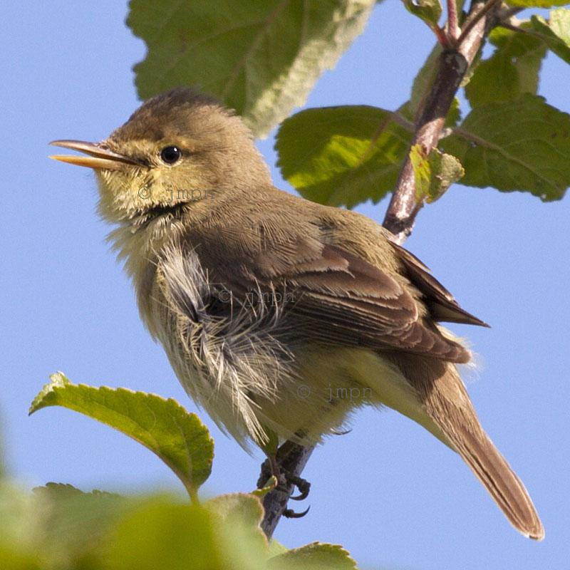 Hypolais polyglotta - Hypolaïs polyglotte - Melodious warbler