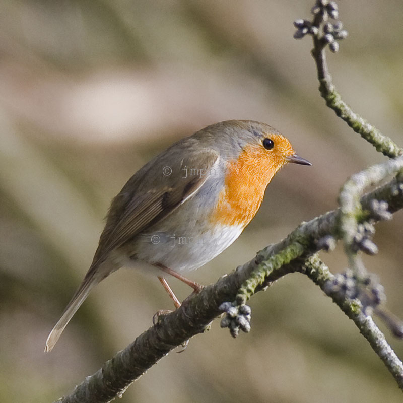 Erithacus rubecula - Rougegorge familier - European Robin