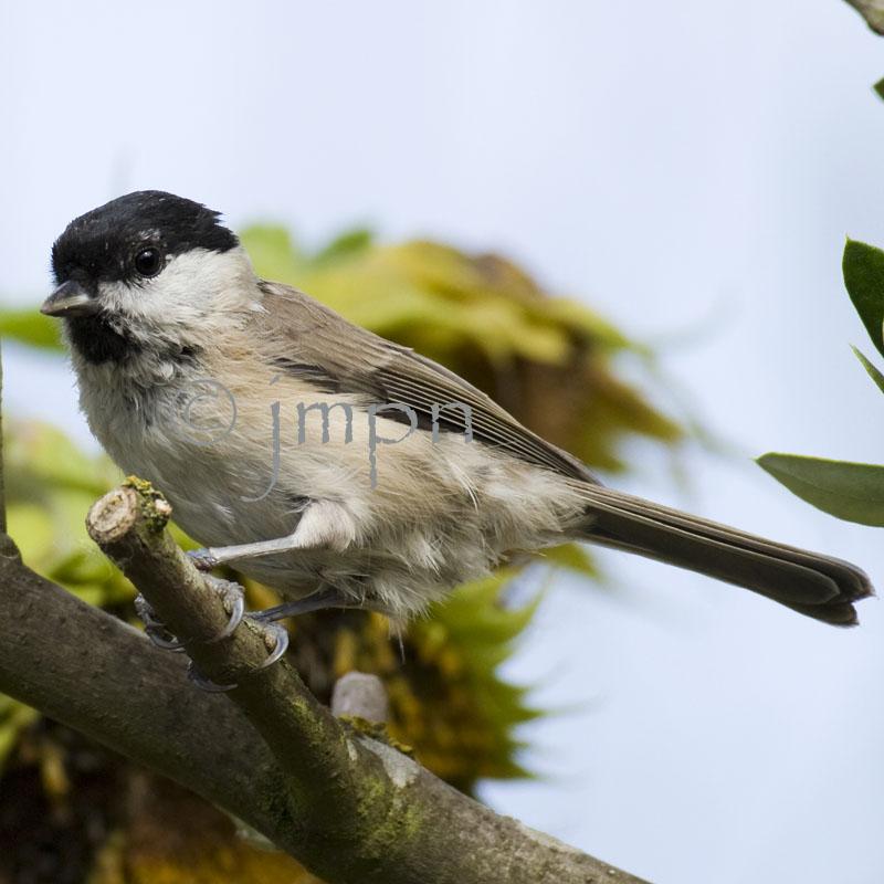 Poecile palustris - Mésange nonnette - Marsh Tit