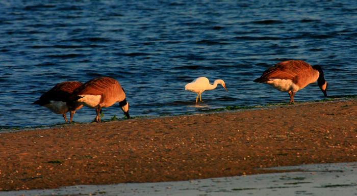 Snowy Egret, (center)