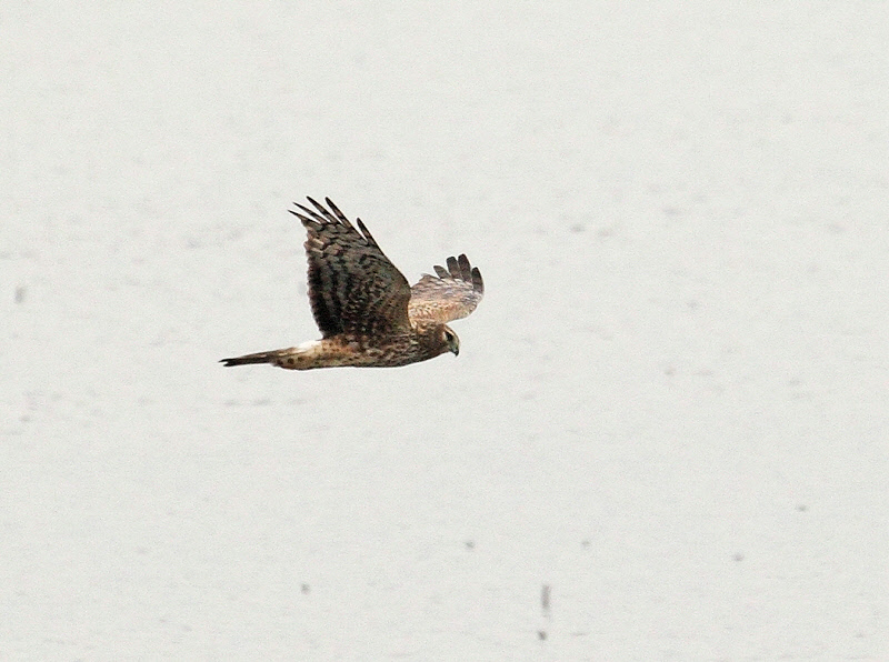 Northern Harrier -- Flying over the Marsh (1736)
