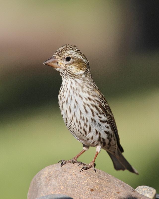 Cassins Finch (Female) (7052)