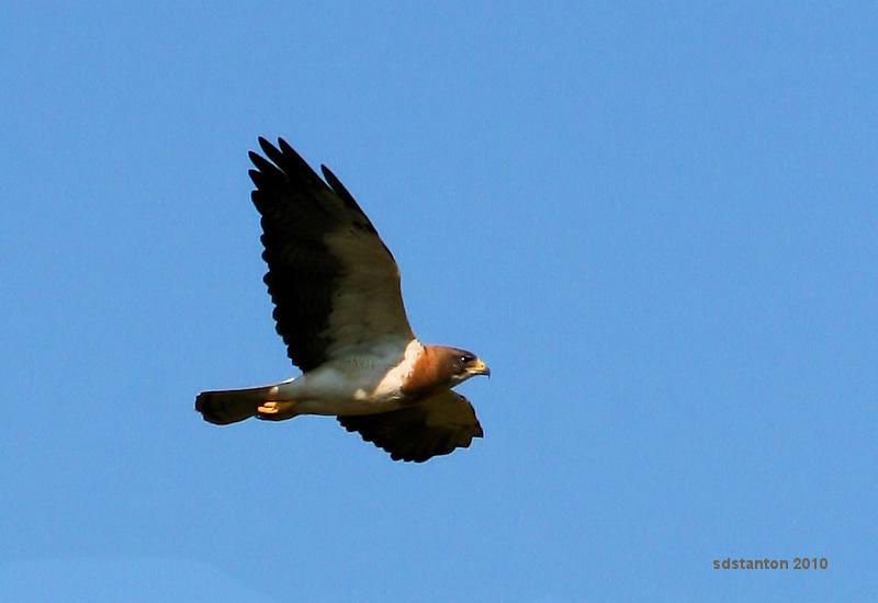 Soaring Hawk