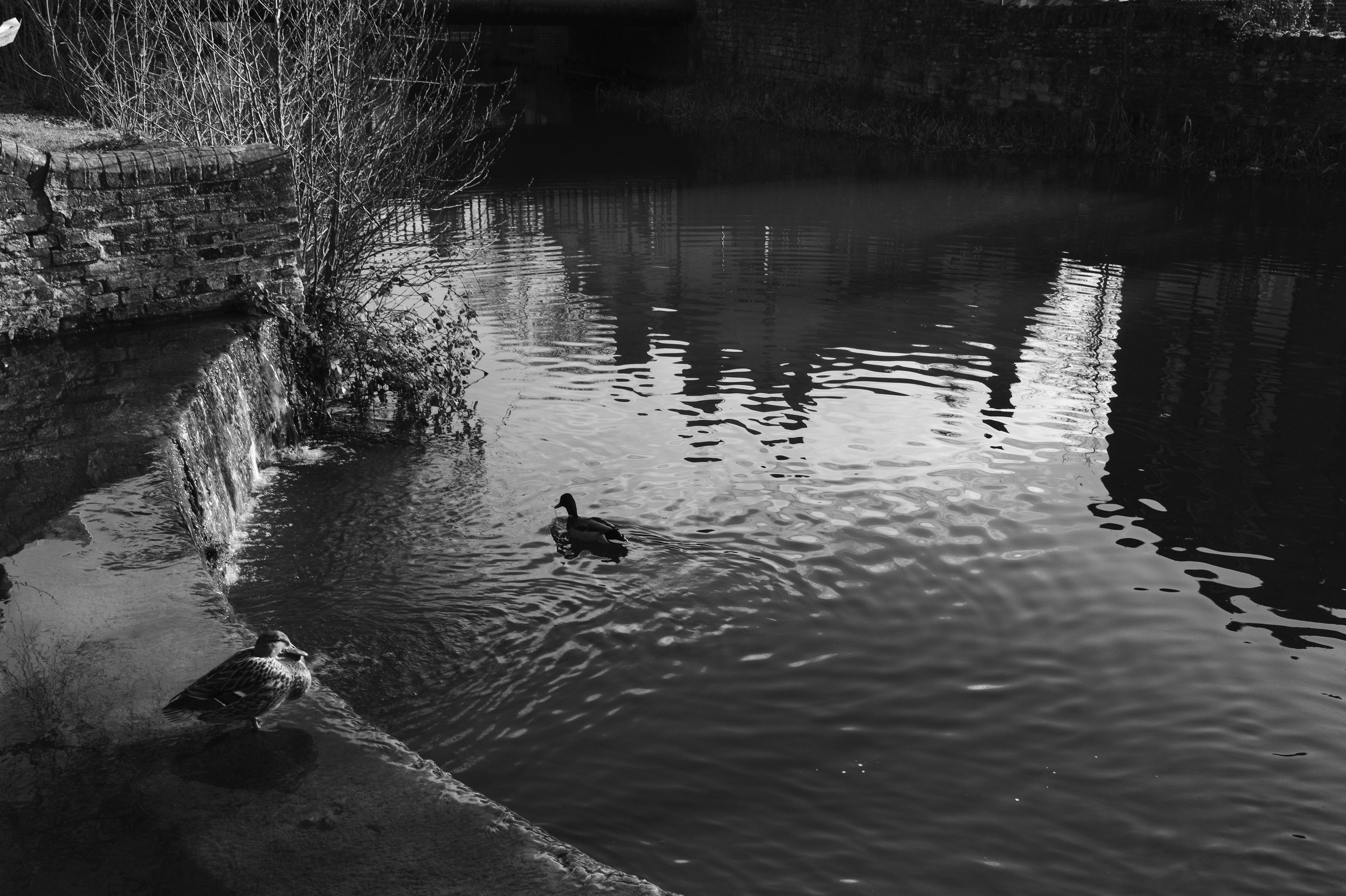 Oxford Fowl
