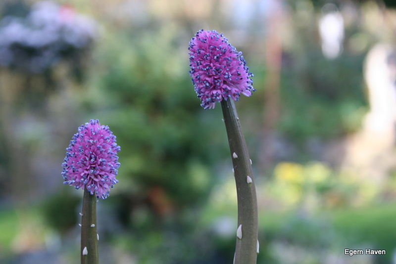 Helomia bullata