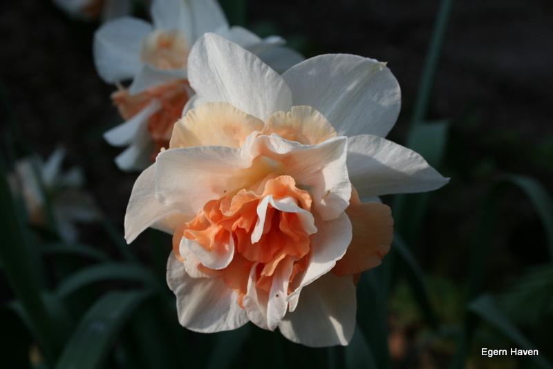 Narsissus Repete