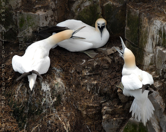 Gannets at Cape St Marys