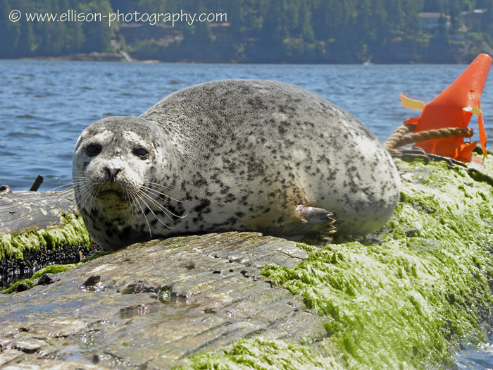 Seal in Indian Arm