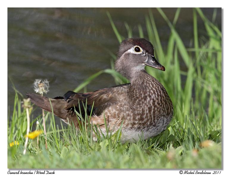 Canard branchu <br> Wood Duck