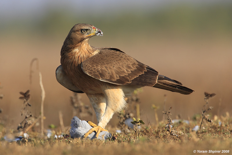 Bonellis Eagle Hieraaetus fasciatus 3023