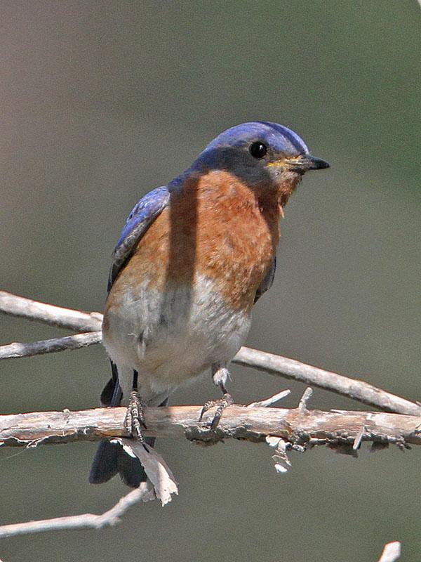 bluebird-eastern2507-800s.jpg