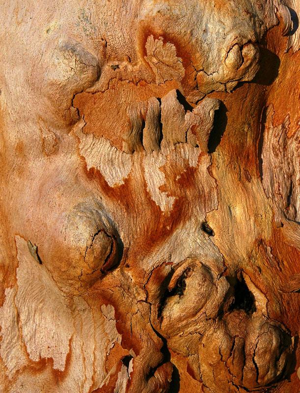 Hill Salmon Gum (Eucalyptus tintinnans)