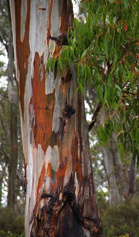 Mountain Gum (Eucalyptus dalrympleana)