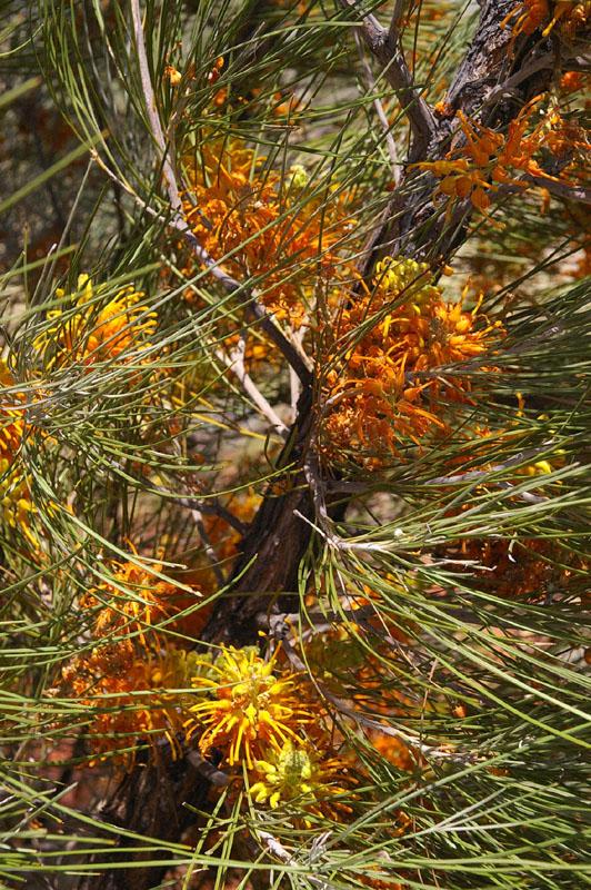 Honeysuckle Grevillea (Grevillea juncifolia)