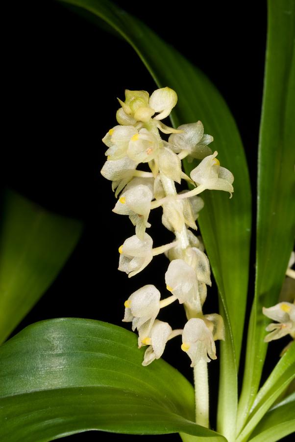 20096658  -  Eria aperiflora Eeria CBR AOS close-up.jpg