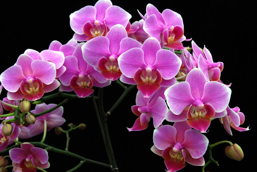 20105469  -   Doritaenopsis Beauty Sheena Rin Rin AM AOS 83 points.jpg