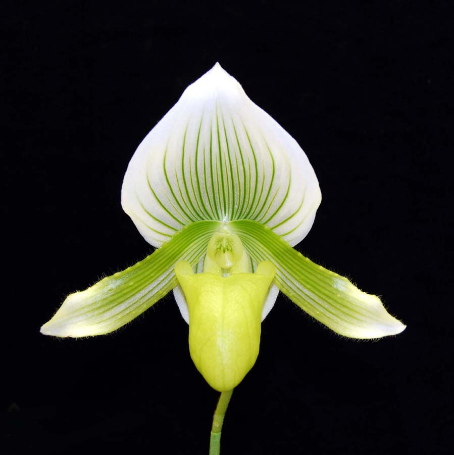 20113327   -   Paph. Hysinying Calsow  Spring Baby HCC AOS (77 points) 2-12-2011