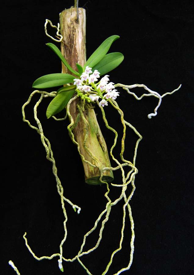 20113325  -  Tuberolabium woodii Livingston CHM AOS (85 points) 2-12-2011