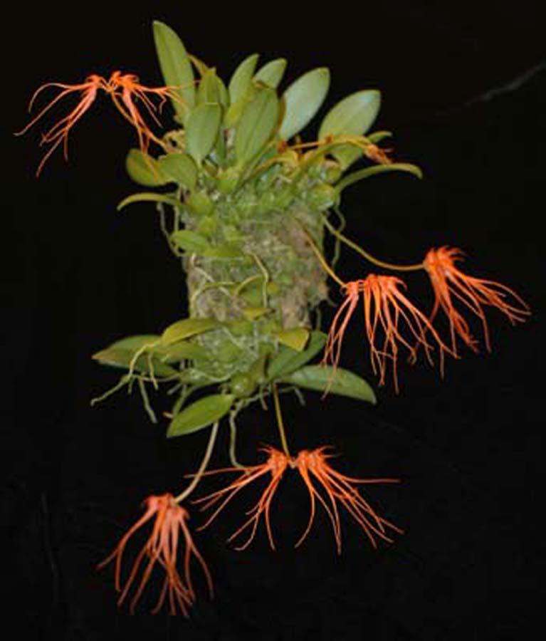 20105484  -  Bulbophyllum tingabarium Rojohn CCM AOS 82 points.jpg