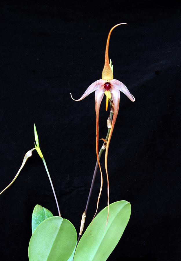 20113333  -   Bulbophyllum echinolabium   Amanda   AM-AOS  (86 points)   9-17-2011