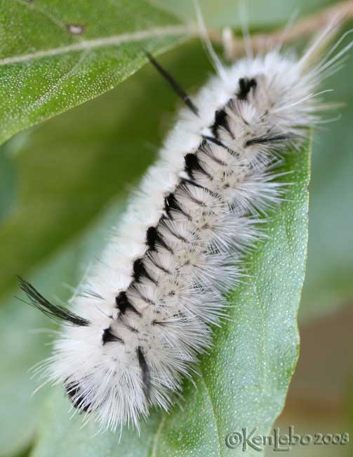 HIckory Tussock