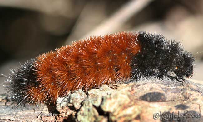 Woolly Bear Pyrrharctia isabella