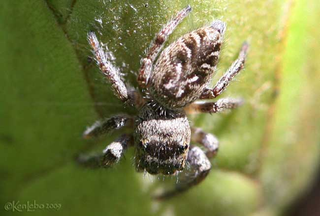 Bronze Jumping Spider - female