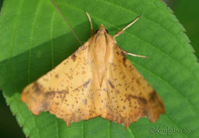 Maple Spanworm Moth Ennomos magnaria #6797