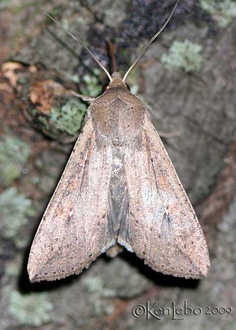 Armyworm Moth Pseudaletia unipuncta #10438