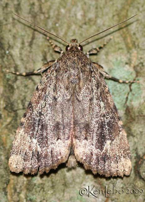 Copper Underwing Amphipyra pyramidoides #9638