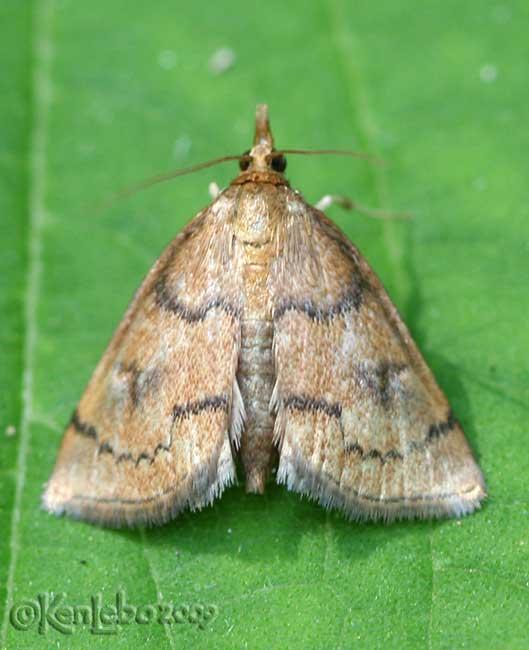 Mint Root Borer Moth Fumibotys fumalis #4950