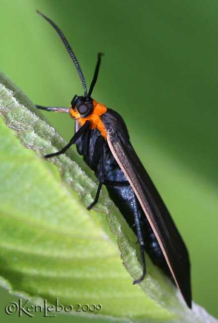 Yellow-collared Scape Moth Cisseps fulvicollis #8267