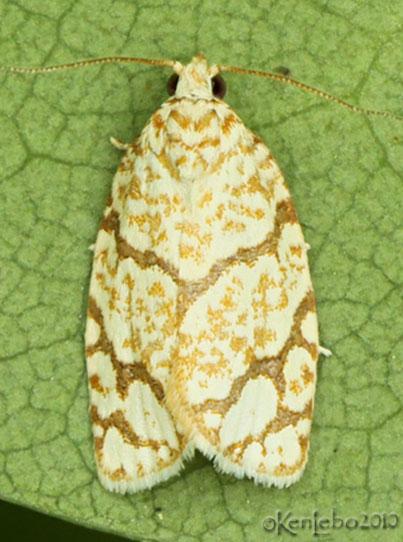 Oak Leafroller Moth Argyrotaenia quercifoliana #3623
