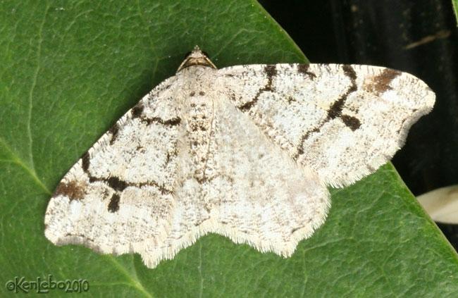 Hemlock Angle Macaria fissinotata #6348