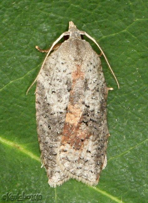 White-line Leafroller Moth Amorbia humerosana #3748