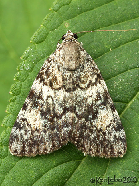 Little Lined Underwing Catocala lineella #8878.1