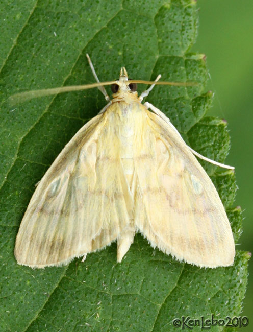 Crocidophora tuberculalis #4945
