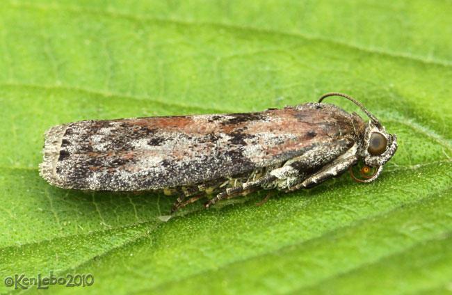 Black-spotted Leafroller Moth Sciota virgatella #5797