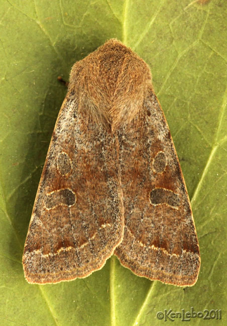Speckled Green Fruitworm Moth Orthosia hibisci #10495