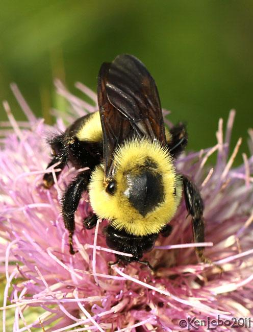 Carpenter Bee Xylocopa virginica